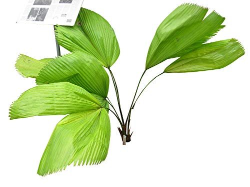 (10 Ruffled Fan Palm Tree Seeds - Licuala Grandis by Seeds and Things)