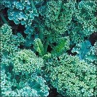The Dirty Gardener Heirloom Siberian Kale - 1 ()