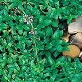Herb Seeds - Pennyroyal - 10,000 Seeds