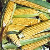 buy Corn Golden Bantam 8 Open Polinated BULK 1,000 Seeds Great Heirloom Vegetable now, new 2018-2017 bestseller, review and Photo, best price $9.95