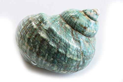 Large Polished Jade Turbo (4 - 4 1/2'') 2'' opening Beach Crafts Nautical Decor Large Hermit Crabs - Florida Shells and Gifts by Florida Shells and Gifts Inc.