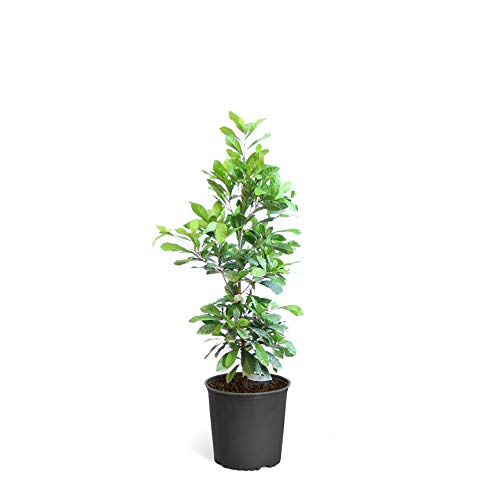 Miracle Berry - Miracle Fruit Plant - 3 Gallon Plant | Cannot Ship to AZ