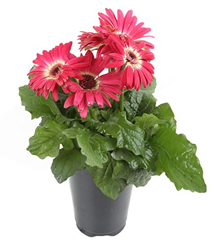 Costa Farms Gerbera, Transvaal Daisy Live Outdoor Plant 1 QT Grower's Pot, 8-Pack, Pink by Costa Farms (Image #1)