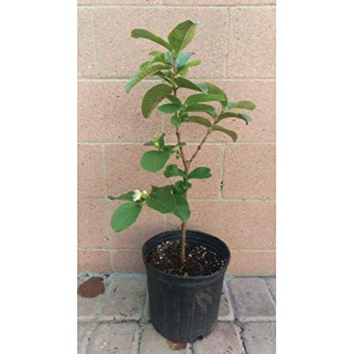 Thai Guavas Tropical Fruit Trees 36 inch Height in 3 Gallon Pot #BS1 by iniloplant (Image #1)