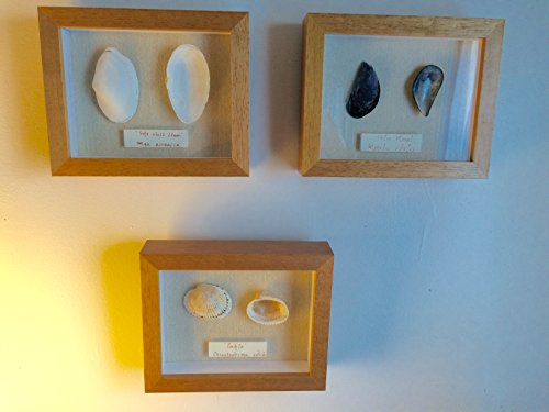 3 Shell Shadow Boxes with Scientific and Common Name Plate Framed Cape Cod Shells Blue Mussel Cockle Soft Shelled Clam in Natural Wood Frames Mounted on Beige Linen Mat Board