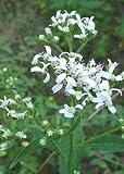 White Wingstem (Verbesina virginica), Seed Packet, True Native Seed