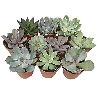 """10 Different Plant 2"""" Pots Desert Rose Echeveria Succulent Plants - HGR21 : Garden & Outdoor"""