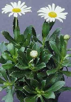 """MONTAUK DAISY ~White~ """"Chrysanthemum Niponicum"""" *NEW* 20+Perennial Seeds"""