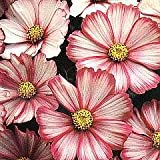 35+ Cosmos Bi-color Peppermint Twist Flower Seeds / Pest, Disease, Heat and Drought Tolerant Long Lasting Annual