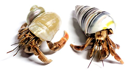 Nature Gift Store 2 Live Pet Hermit Crabs Shipped Now: Purple Pincher Land Crabs