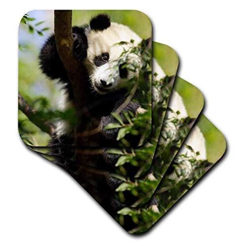 3dRose Giant Panda Bear, Research Station, San Diego Zoo Ca - Us05 Mpr0038 - Maresa Pryor - Soft Coasters, Set of 4 (CST_88551_1) ()