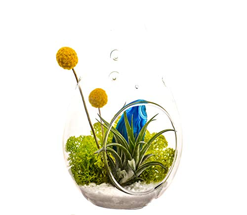 Bliss Gardens Air Plant Terrarium with 7