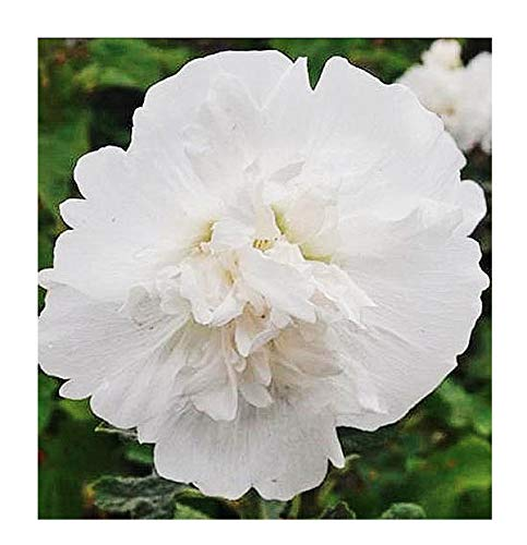 Majorette White Hollyhock Seeds - Long Blooming Period in All Zones - Approximately 65 Seeds ()
