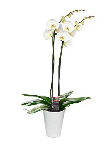 KaBloom Live Orchid Plant Collection: White Phalaenopsis Orchid Plant (18-24 Inches Tall) (2 Stems) in a White Ceramic Pot by KaBloom