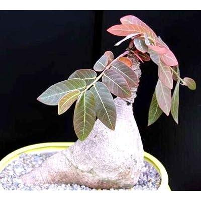 Phyllanthus Mirabilis, Caudiciform Phyllanthodendron Caudex Bonsai Seed -5 Seeds : Garden & Outdoor