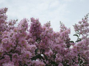 LARGE BASHAM'S PARTY PINK CRAPE MYRTLE, 2-4ft Tall When Shipped, FASTEST GROWING CRAPE MYRTLE, Matures 30ft, 1 Tree, Delicate Light Pink (Shipped Well Rooted in Pots with Soil) by The Crape Myrtle Company (Image #1)