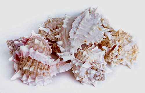 6 Piece Natural Sea Shells | Large Conch Decorations for Home | 2.5 to 4 inch Size Hawaiian Nautical Party Decorative Conches | Cute Luxury Accessories for Beach Wedding Décor and Crafts ( White)
