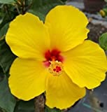 "2 EXOTIC TEQUILA YELLOW HIBISCUS WELL ROOTED LIVE STARTER PLANT 4 TO 5"" TALL"