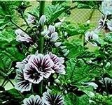 Malva - Sylvestris Zebrina - 50 Seeds
