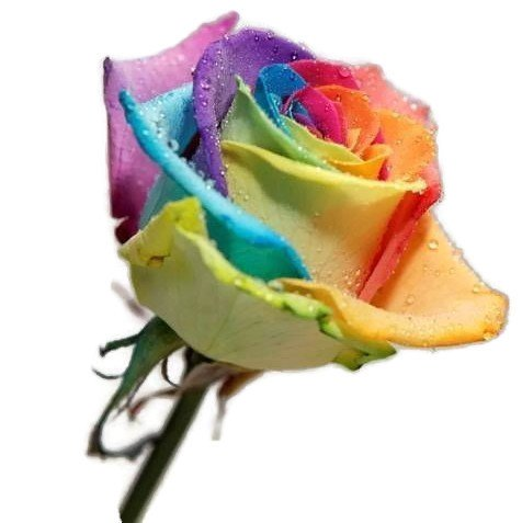 Ploy 100 pcs beautiful flower rainbow rose seed perennial for Growing rainbow roses from seeds