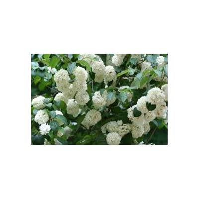 (3 Gallon) Popcorn Viburnum (Japanese Snowball) - 3-inch-Diameter White Round Blooms All Spring. Can Be Shaped into Tree or Shrub : Garden & Outdoor