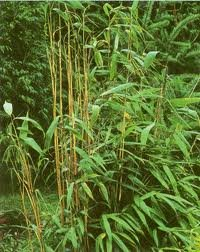 pseudosasa japonica arrow bamboo 12 long. Black Bedroom Furniture Sets. Home Design Ideas