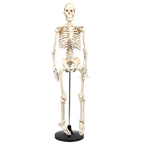 Human Skeleton Model - 35.5 inch - Anatomical Skeleton, Base Mounted, Articulating, Ivory, 7.5 x 35.5 x 4 inches