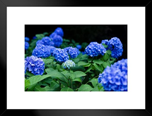 (Blue Hydrangea Flowering Plants Photo Art Print Matted Framed Wall Art 26x20 inch)