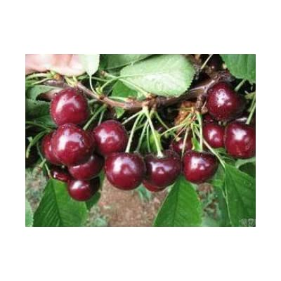 SD0509 Sweet & Meaty Black Cherry Seeds, Prunus Serotina Cherry Fruits (15 Seeds) : Fruit Plants : Garden & Outdoor