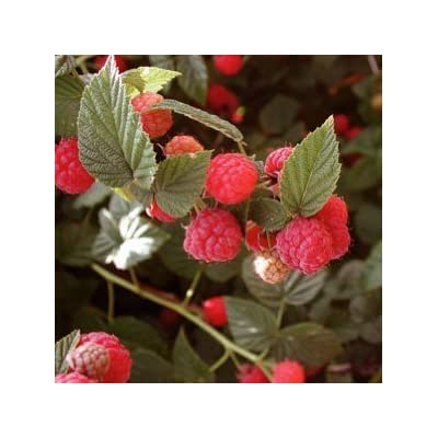 Seeds and Things Organic Red Raspberry 50 Seeds : Raspberry Plants : Garden & Outdoor