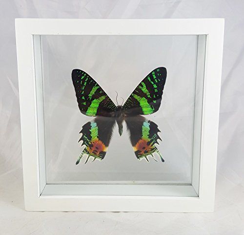 Angelwing Real Butterfly Madagascar Double Glass Framed Display Insect Taxidermy