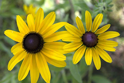 (Black-Eyed Susan (Rudbeckia hirta) Seed Balls, Fall or Spring Planting, Bulk Seed Bombs (50))