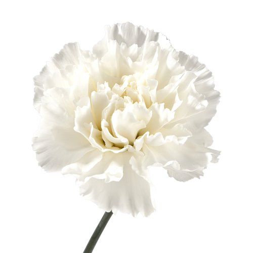 (Wholesale Carnations (150 White))