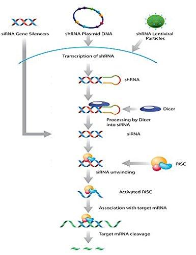 ET-2 shRNA Plasmid (m)
