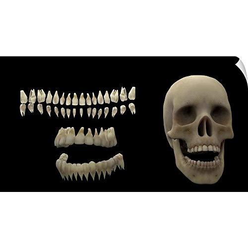 (CANVAS ON DEMAND 3D Rendering of Human Teeth and Skull Wall Peel Art Print, 60