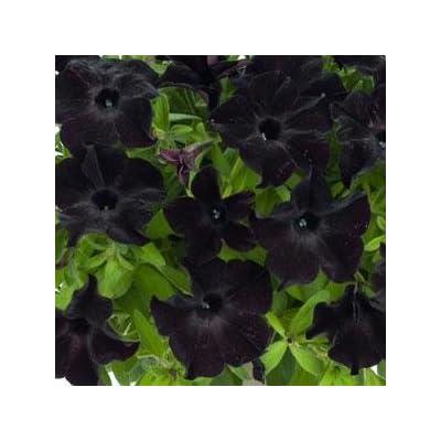 Petunia Premium Annual Plants (4-Pack), Black Magic Color, 4.33″ Pot : Garden & Outdoor