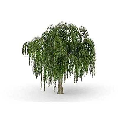 AchmadAnam - Trees - One Dwarf Weeping Willow Tree Cutting - Excellent Bonsai - Indoor/Outdoor Live Tree Plant - Rare Small Garden Tree. E16 : Garden & Outdoor