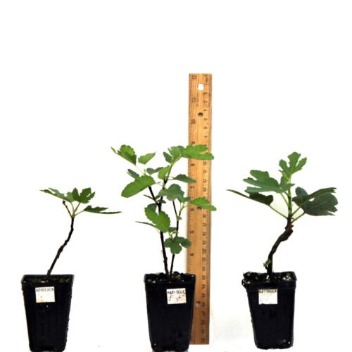 FIG FRUIT TREE LSU Purple Common Edible Fig LIVE PLANT