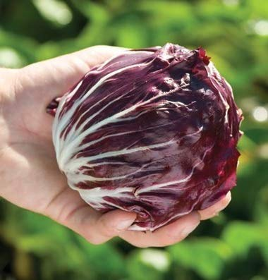 David's Garden Seeds Chicory Radicchio Perseo SL3099 (Green) 50 Non-GMO, Open Pollinated - Radicchio Seeds