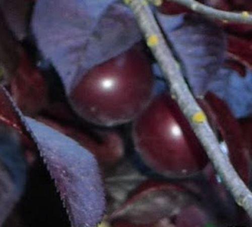 Thundercloud Purple Plum Juicy Purple Plums and ornamenta Fruit Tree Live Plant