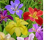 (3) Spectacular Flowering Mixed Colors Louisiana Iris Rhizomes/Root/Plant