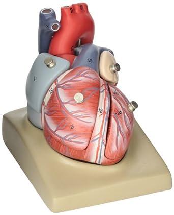 Amazon.com: EISCO Human Heart Model, 7 Parts: Industrial & Scientific