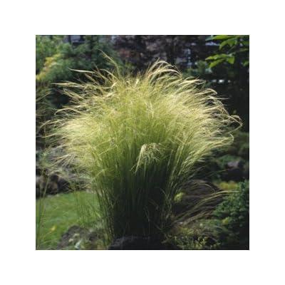 Stipa tenuissima Angel Hair 1.000 seeds: Home & Kitchen