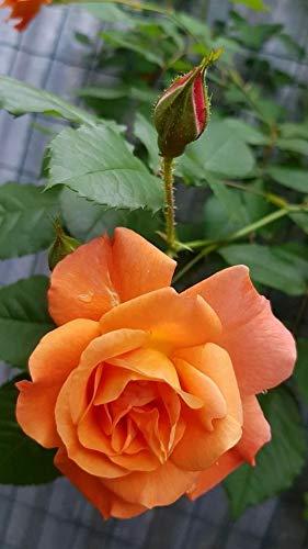 Royal Paradise Garden Exotic Cantaloupe Orange Rose Flower Plant Home Garden Plant 1 Grafted Rose Live Plant Amazon In Garden Outdoors Otrzymaj 52.786 s stockowego materiału wideo holding a male cantaloupe flower z 29.97 kl./s. royal paradise garden exotic cantaloupe