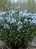 (1 gallon) Amsonia 'Storm Cloud' Blue Star, Dark black stems and dark leaves with silver veins as plant emerges.
