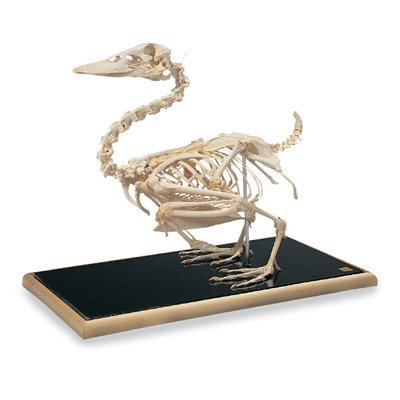 Duck skeleton by 3B Scientific