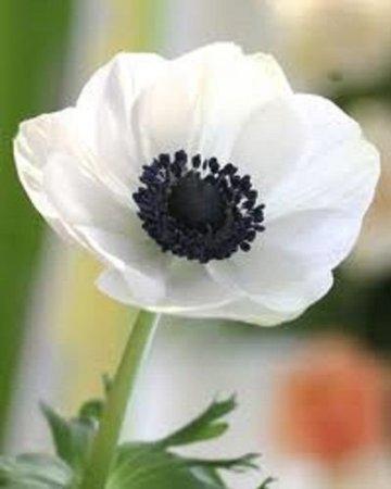 White Anemone Flower Seeds Perennial