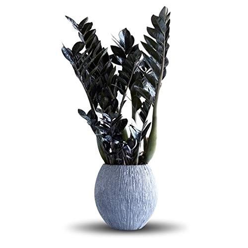 50-70cm Topf /Ø 17cm Schwarze Zamioculcas Zimmerpflanze Zamioculcas Raven