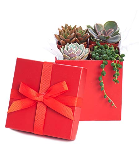 Shop Succulents | Good Juju Collection of Live Succulent Plants in Gift Box, Hand Selected Variety Pack of Mini Succulents | Collection of 4