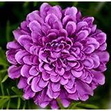 Saavyseeds Royal Lavender Marigold Seeds - 30+ Count